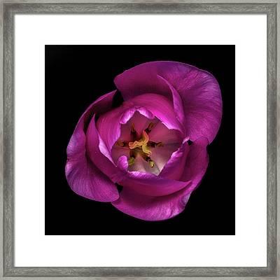 Tulip's Heart Framed Print