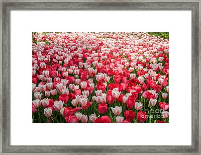 Tulips Framed Print by Holden Parker