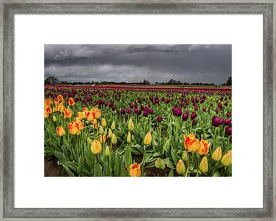 Tulips In A Storm Framed Print by Jean Noren