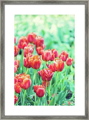 Tulips In Amsterdam Framed Print