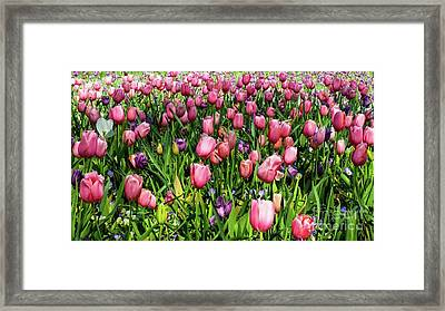 Tulips In Bloom Framed Print