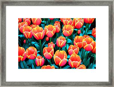 Tulips In Holland Framed Print by Gene Sizemore