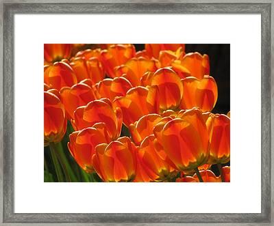 Tulips In Light Framed Print