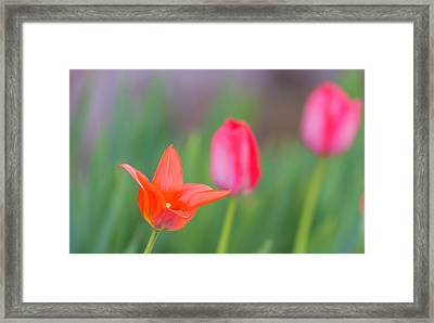 Tulips In My Garden Framed Print