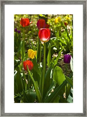 Tulips In The Garden Framed Print