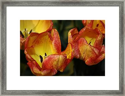 Tulips In The Morning Framed Print