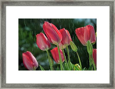 Framed Print featuring the photograph Tulips In The Rain by William Lee