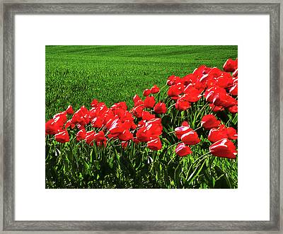 Tulips In The Wind Framed Print by Steven Michael