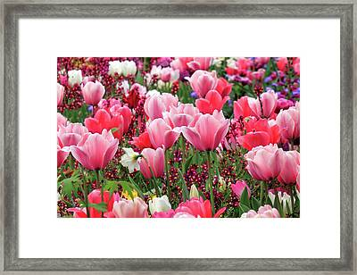 Framed Print featuring the photograph Tulips by James Eddy