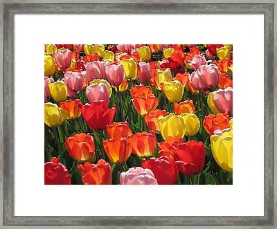 Tulips Like Sunlight Framed Print