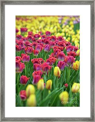 Tulips.. Framed Print by Nina Stavlund