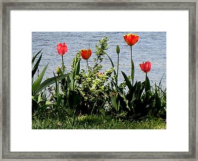 Tulips On The Bay Framed Print