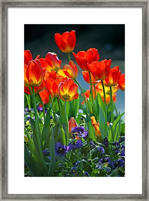 Tulips Framed Print by Robert Meanor