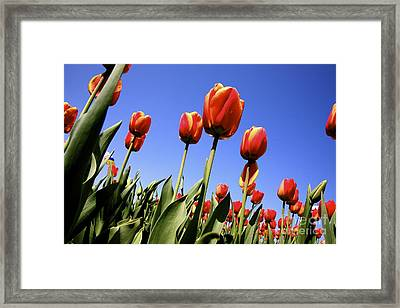 Tulips Time 3 Framed Print by Robert Pearson