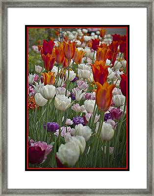 Tulips... Tulips... Everywhere Framed Print