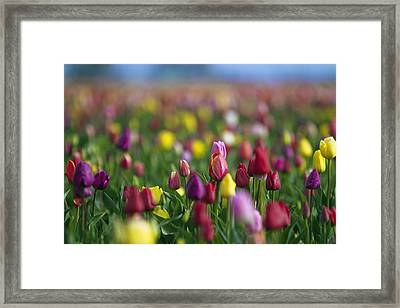 Tulips Framed Print by William Lee