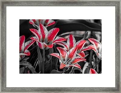 Tulips With A Splash Of Color Framed Print