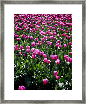 Framed Print featuring the photograph Purple Tulips by Peter Simmons