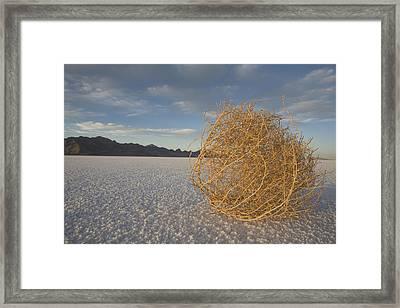 Tumbleweed On The Bonneville Salt Framed Print