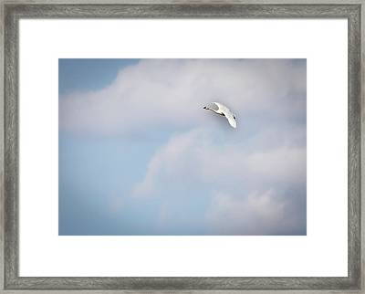 Tundra Swan 2015-8 Framed Print by Thomas Young