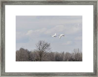 Tundra Swans 1-2015 Framed Print by Thomas Young