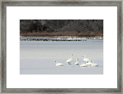 Tundra Swans 1 Framed Print