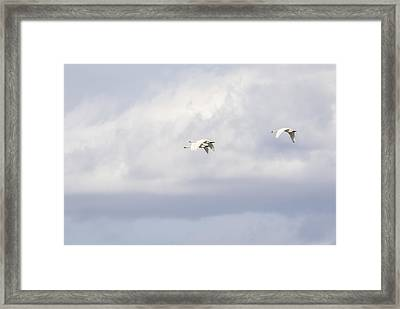 Tundra Swans 2-2015 Framed Print by Thomas Young