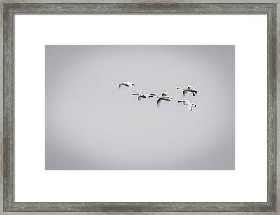 Tundra Swans 2016-2 Framed Print by Thomas Young