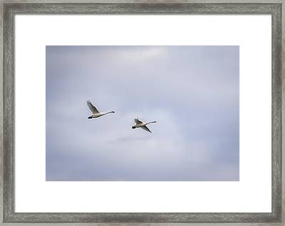 Tundra Swans 2016-3 Framed Print by Thomas Young