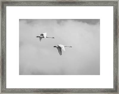 Tundra Swans 3-2015 Framed Print by Thomas Young