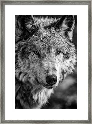 Tundra Wolf Framed Print by Rick Berk