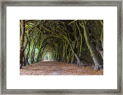 Framed Print featuring the photograph Tunnel Of Intertwined Yew Trees by Semmick Photo