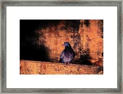 Tunnel Pigeon Framed Print