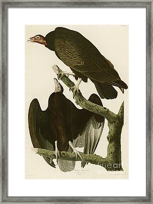 Turkey Buzzard Framed Print