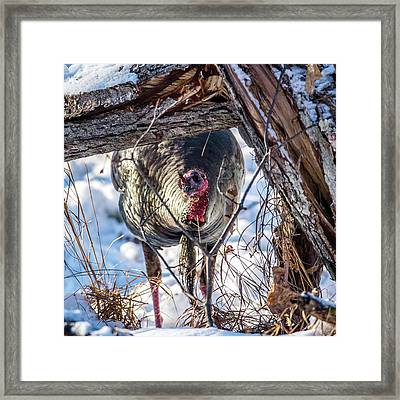 Framed Print featuring the photograph Turkey In The Brush by Paul Freidlund