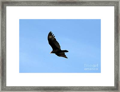 Turkey Vulture Framed Print by David Lee Thompson