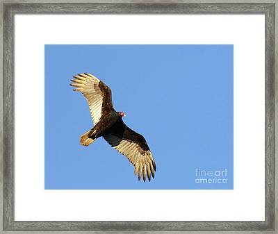 Turkey Vulture Framed Print