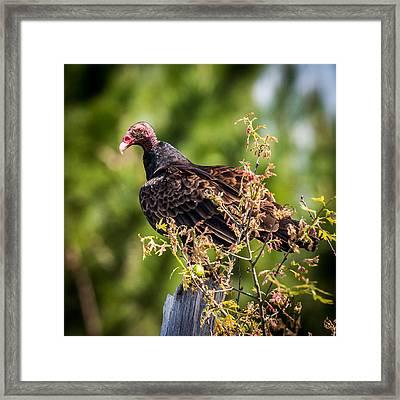Turkey Vulture II Framed Print by Paul Freidlund
