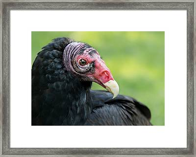 Turkey Vulture Framed Print by Jim Hughes