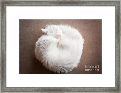 Turkish Angora Cat Curled Up Framed Print by Arletta Cwalina