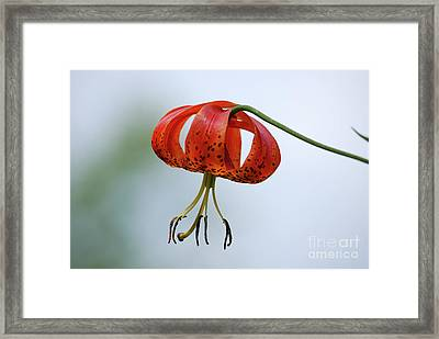 Turk's Cap Lily Framed Print