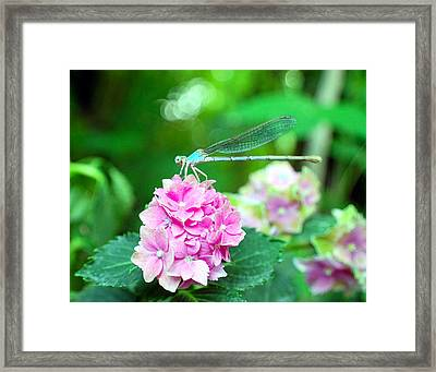 Turquiose Dragonfly  And Hydrangea Framed Print by Heather S Huston