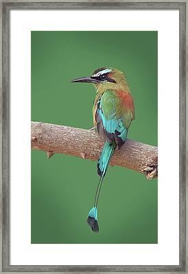 Turquoise-browed Motmot Framed Print