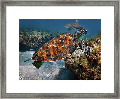 Turtle And Shark Swimming At Ocean Reef Park On Singer Island Florida Framed Print