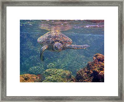Turtle Approaching Framed Print by Bette Phelan
