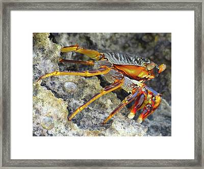 Turtle Bay Resort Watamu Kenya Rock Crab Framed Print