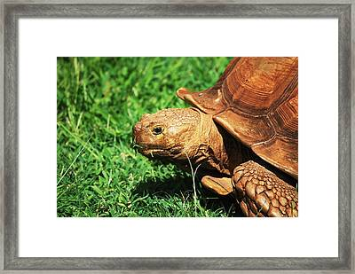 Turtle Framed Print by Lakida Mcnair