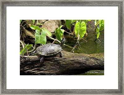 Turtle On Rock Framed Print