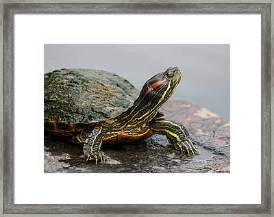 Turtle Portrait Framed Print by Denise McKay