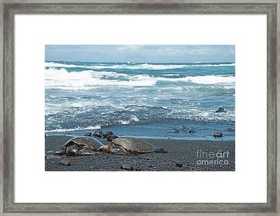 Turtles On Black Sand Beach Framed Print